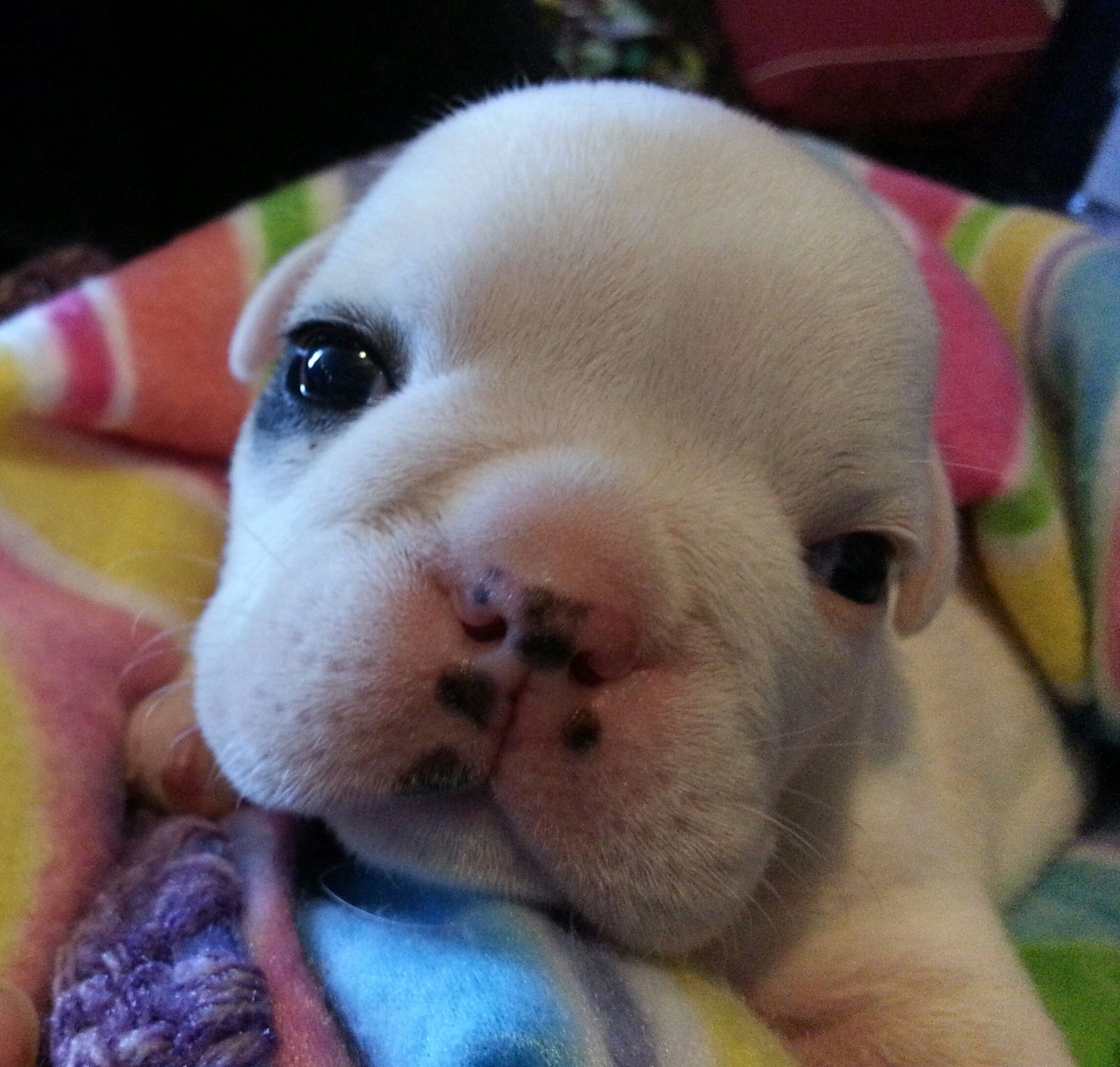puppy openeyes bulldog (With images) Cute funny