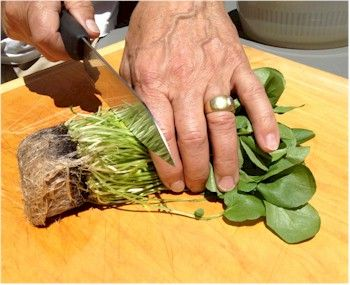 Trim watercress and save the roots to grow in your garden.
