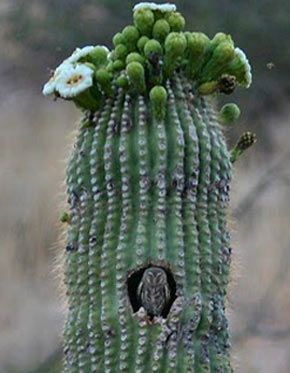 An Elf Owl in his cactus home.