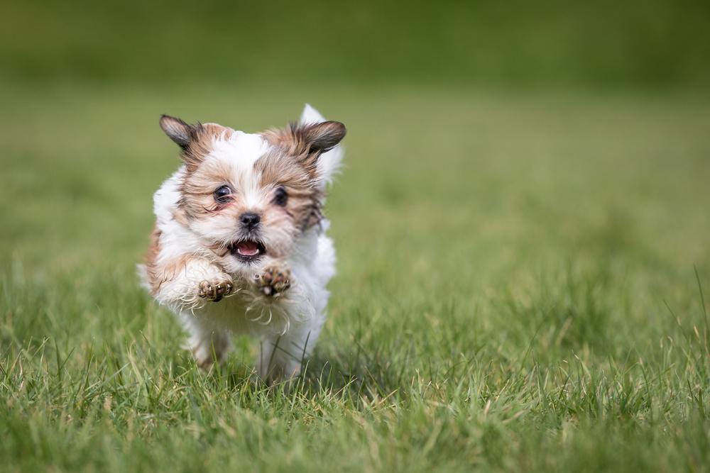 Shih Tzu Puppy In 2020 Shih Tzu Puppy Puppies Pet Dogs