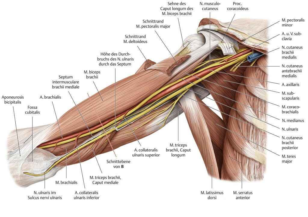 Oberarm   Anatomie   Pinterest
