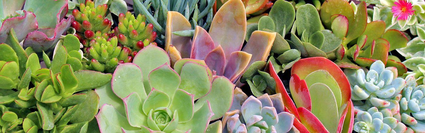 Soft Succulent Collections | Mountain Crest Gardens | Garden ...
