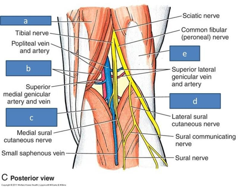 Popliteal Fossa Damage To The Popliteal Artery Is The Most Common