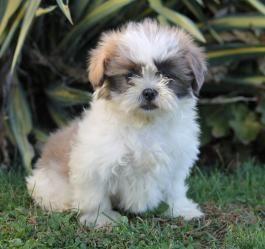 Shih Tzu Puppies For Sale Shih Tzu Puppy Puppies Shih Tzu