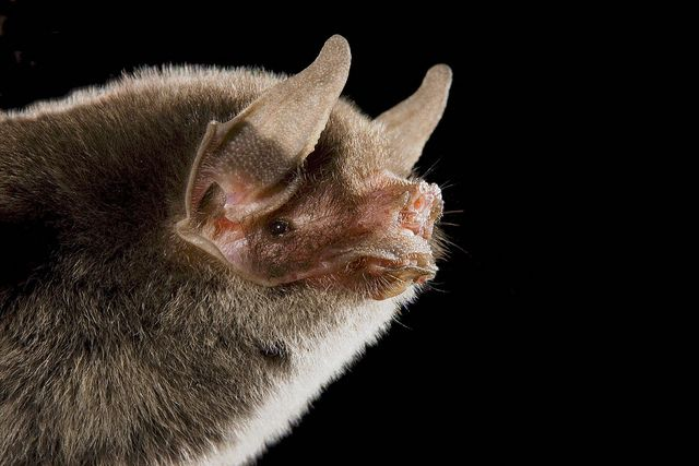 Naked-backed Bat, Pteronotus davyi, Mexico, via Flickr.