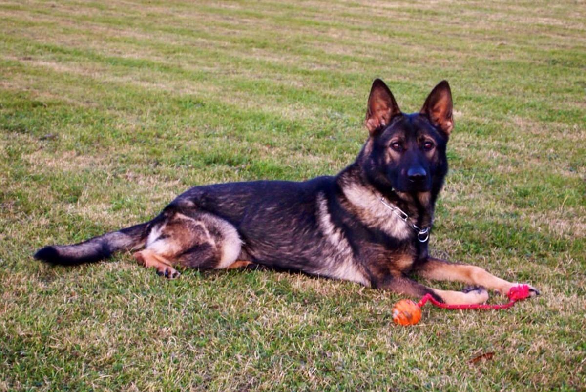 German Shepherd Male Imported From Czech Republic German Shepherd Dogs Sable German Shepherd Military Dogs