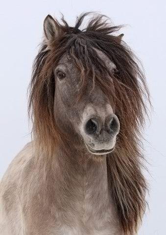 Yakutian horse, pure beauty