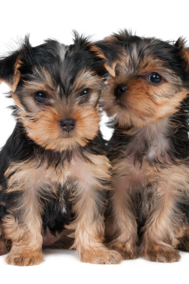 Two Puppies Of The Yorkshire Terrier Isolated On White Yorkshireterrier Yorkshire Terrier Terrier Yorkie