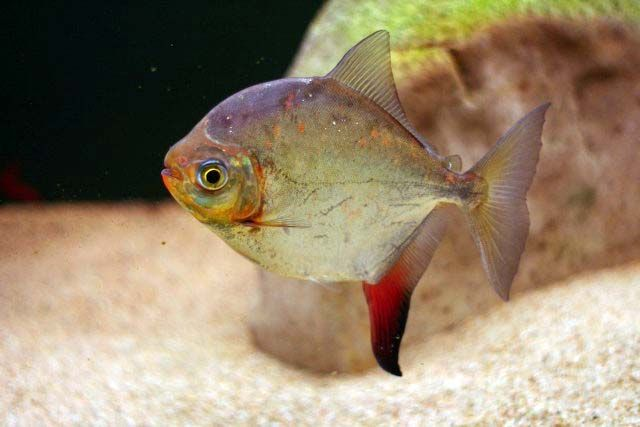 Red Hook Silver Dollar Fish Pet Aquarium Fish Fish