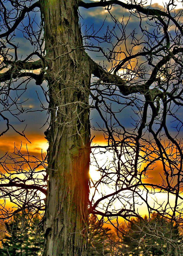 ✯ Old Tree On Sherman Road