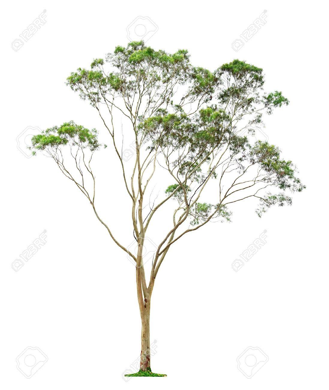 Eucalyptus Tree Drawing Australian Trees Landscape Trees