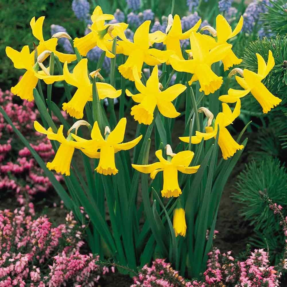 When how to plant daffodil bulbs - Narcissi Cyclamineus February Gold Daffodils And Narcissi A Z Daffodils Narcissi Bulbs