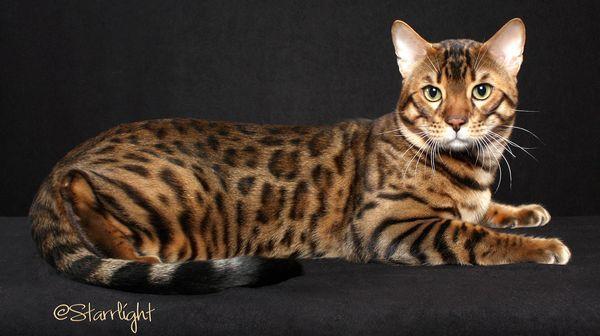 Chat avec des taches léopard