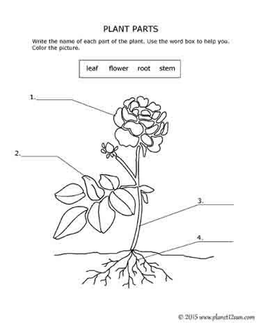 Plant Parts 1st 2nd Grades Parts Of A Plant