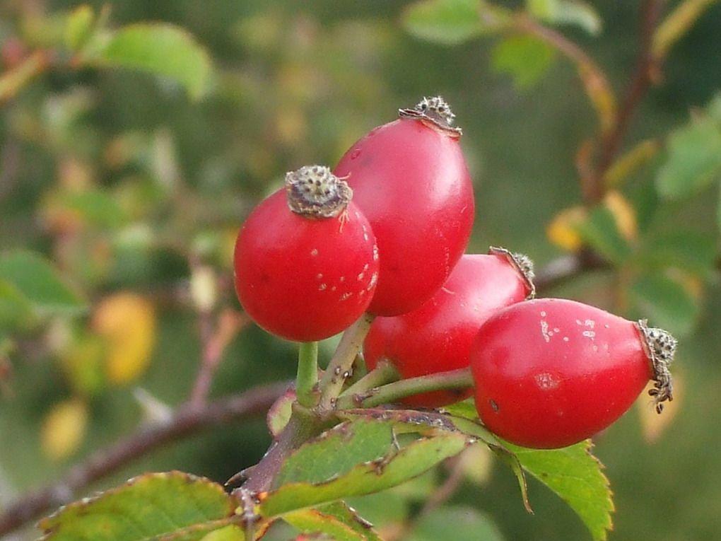 artrite: i dolori si possono ridurre del 90% con la rosa canina