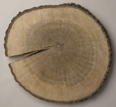 Google Image Result for http://www.liverpoolmuseums.org.uk/conservation/objects/graphics/large/oak_tree.jpg