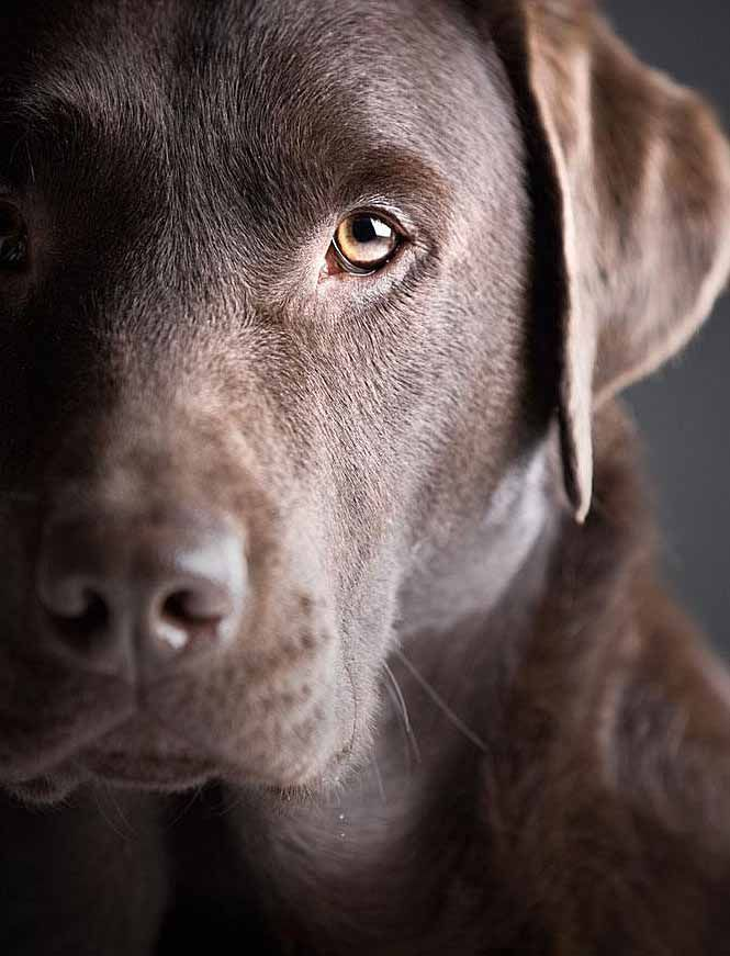 Chocolate Lab Names Sweet Names For Female Or Male Dogs