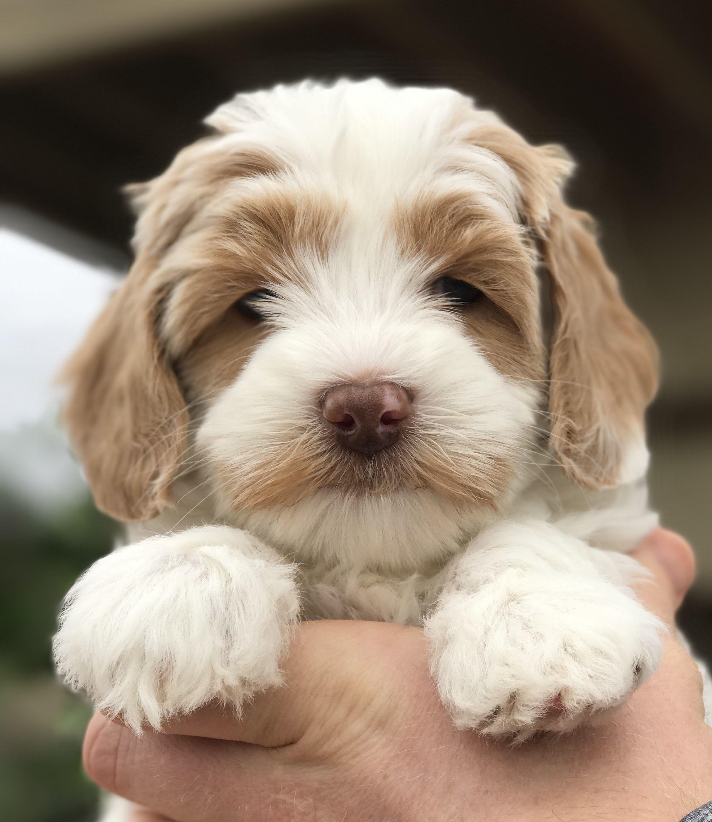 Daisy Hill Australian Labradoodles Labradoodle puppy
