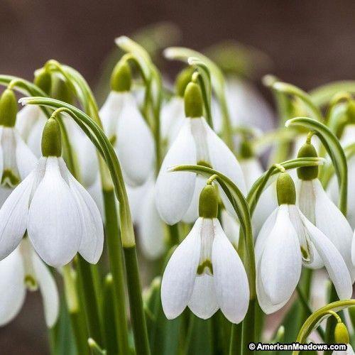 White Snowdrop Bulbs Galanthus Woronowii Snowdrops Spring Flowering Bulbs Bulb Flowers Perennial Bulbs