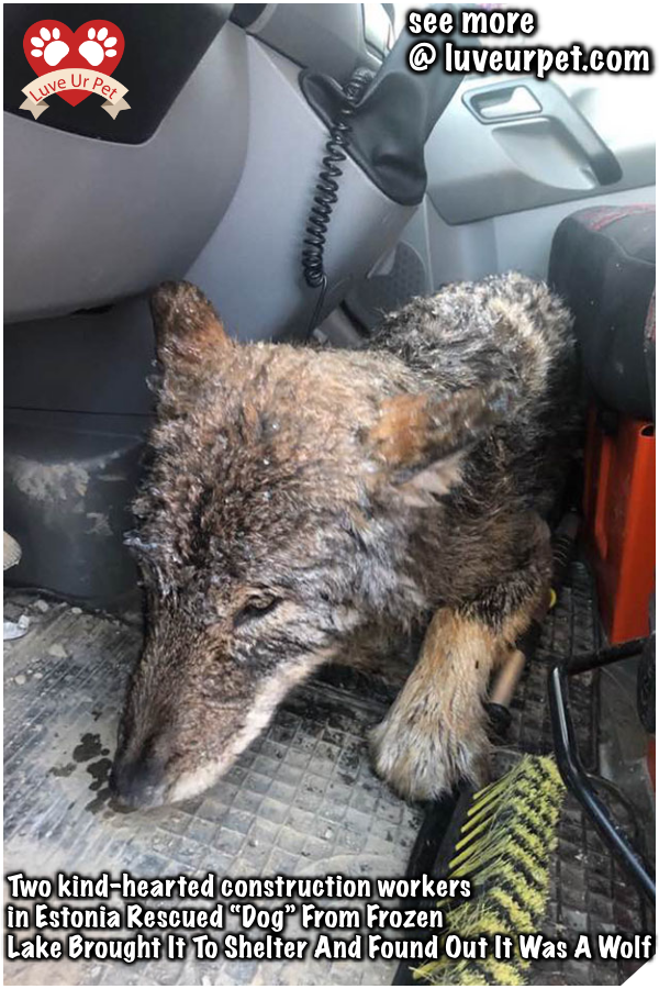 Two Kind Hearted Construction Workers In Estonia Rescued Dog From Frozen Lake Brought It To Shelter And Found Out It Was A Wolf Rescue Dogs Pets Dogs