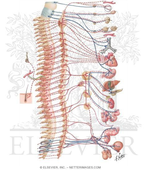 medical chart female spine charts and female nervous system charts - medical charts