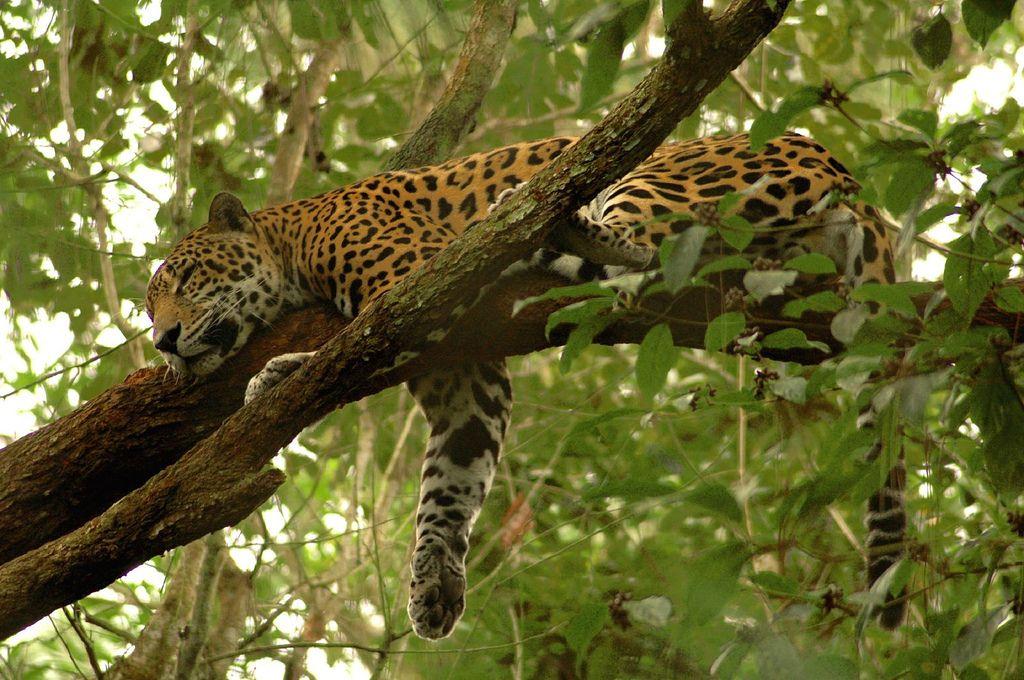 panther in a tree Bing Images Jaguar animal