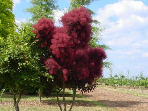 Purple Smoke Tree Cotinus Coggygria Purple People Down