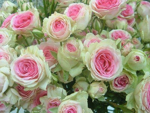 Kapusta Ozdobna Sunrise Lw Pretty Flowers Flowers Beautiful Roses