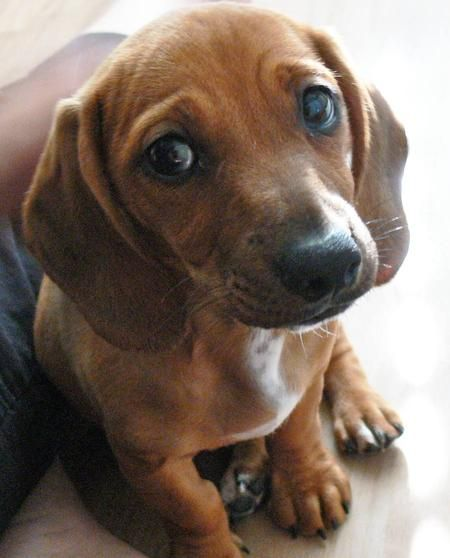 Beagle Dachshund Mix 3 This Is What My Cooper Is Except He S White