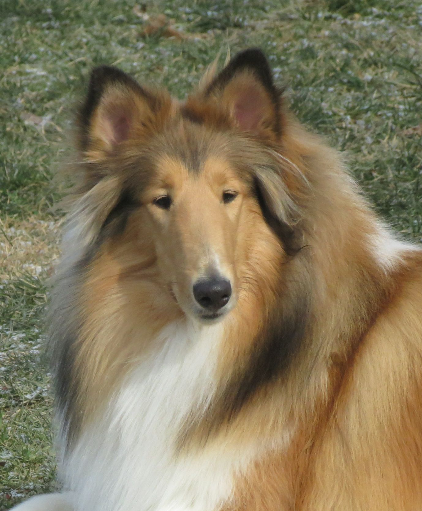 Millie The Collie Collie Dog Rough Collie Collie Breeds