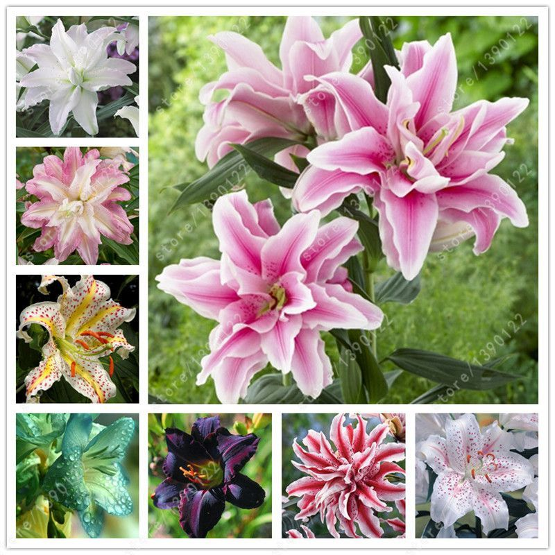 True lily bulbs,lily flower,(not lily seeds),flower lilium bulbs,Faint scent,bonsai pot plant for home garden -2 bulbs