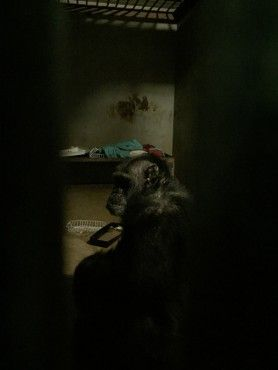 This chimpanzee's story will break your heart.