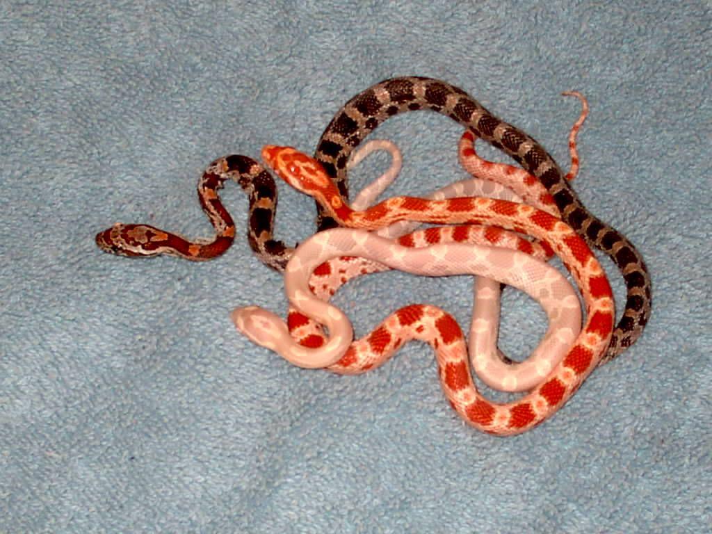 Baby Corn Snakes By Leopardqueen On Deviantart Corn Snake Pet Snake Cute Snake