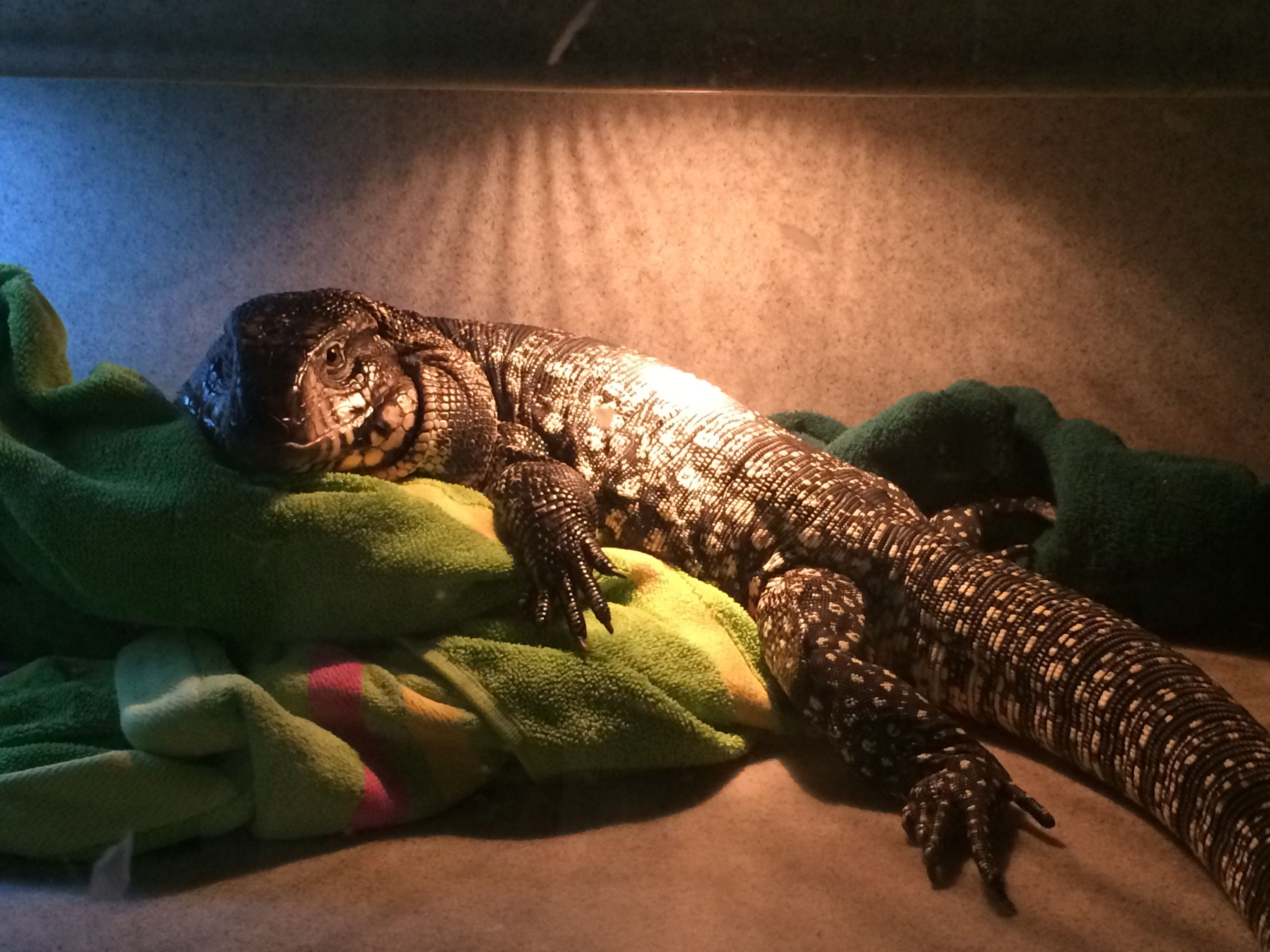 Fluffy Argentine Tegu Making His Blankets Looks So So Comfortable At Reptile Rapture Www Reptilerapture Net Tegu Animals Beautiful Small Pets