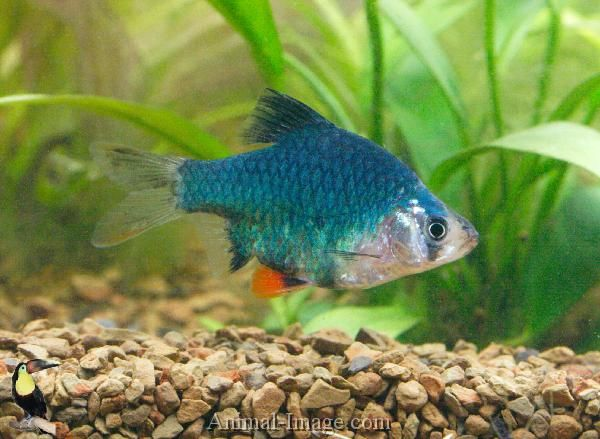 Green Tiger Barb Puntius Tetrazona We Did Have 4 Of These But They Didn T Do Very Well Rare Fish Aquarium Fish Freshwater Fish