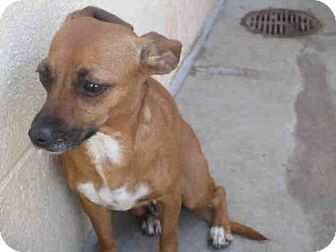 Pictures Of A3727067 A Dachshund Mix For Adoption In Phoenix Az