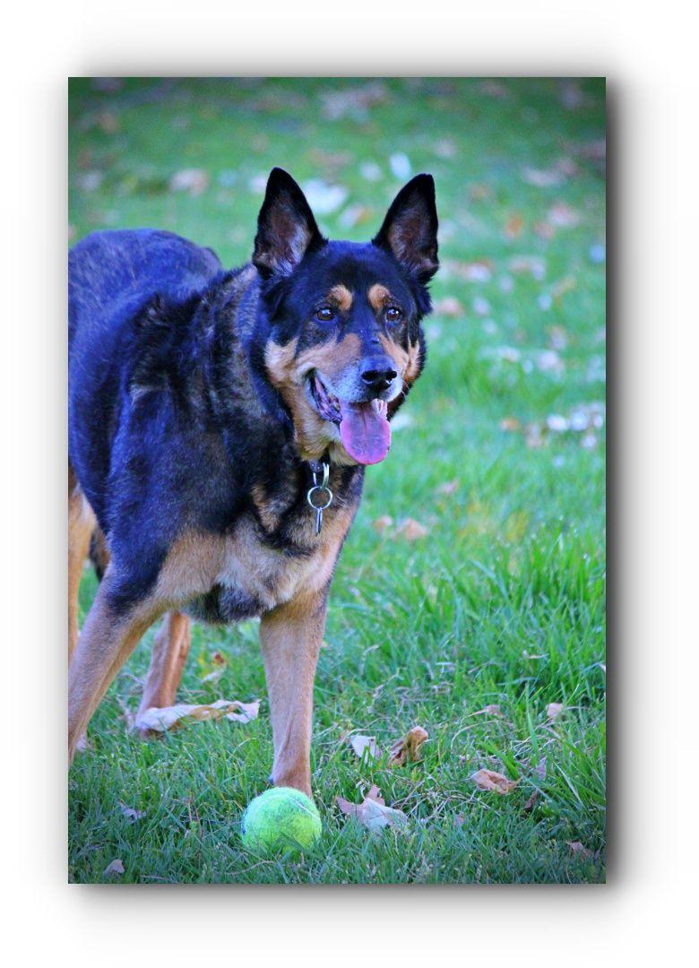 Getting ideas about german shepherd rehoming german