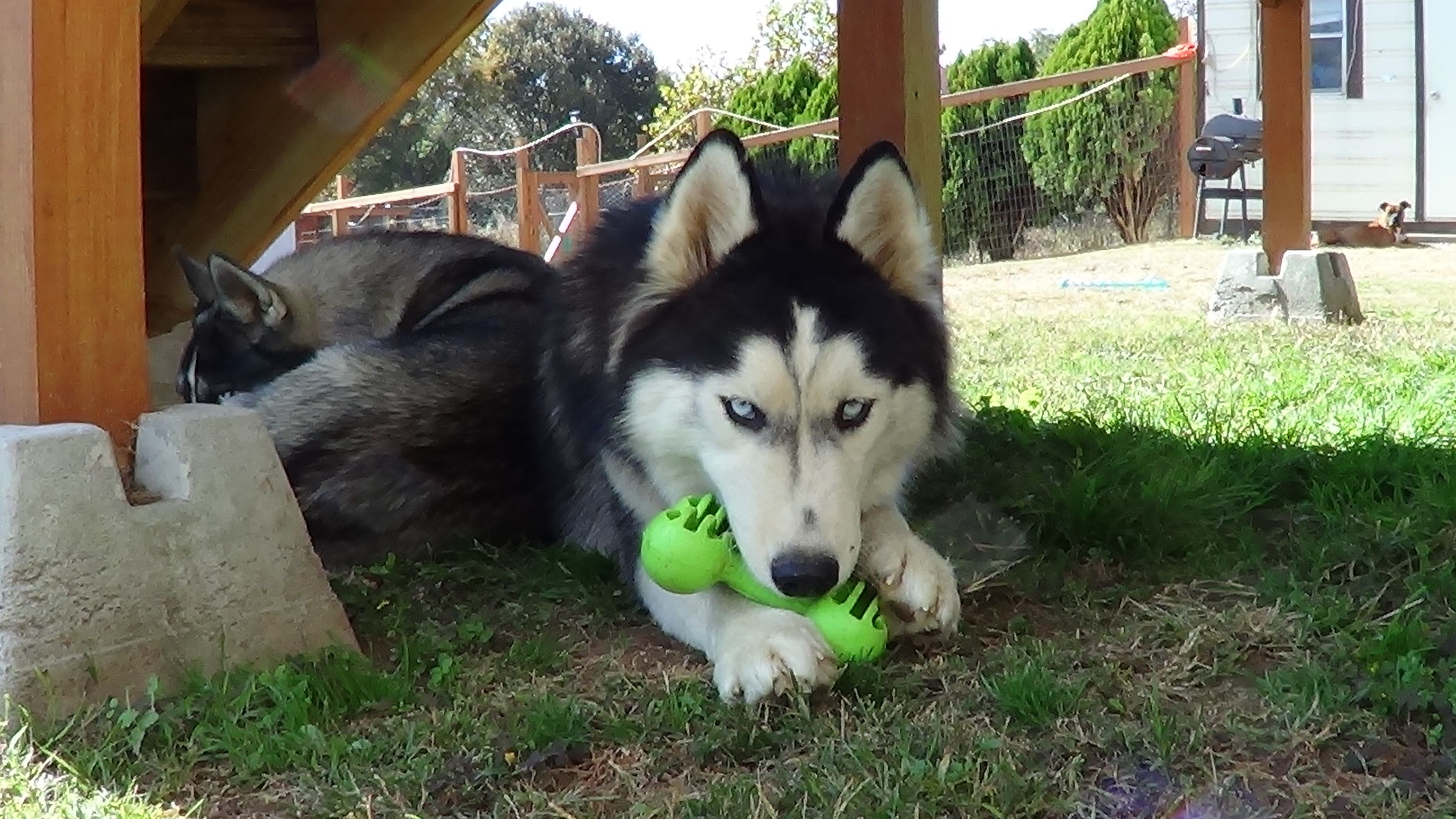 What Type Of Toy Should You Get Your Husky Bama Huskies Husky