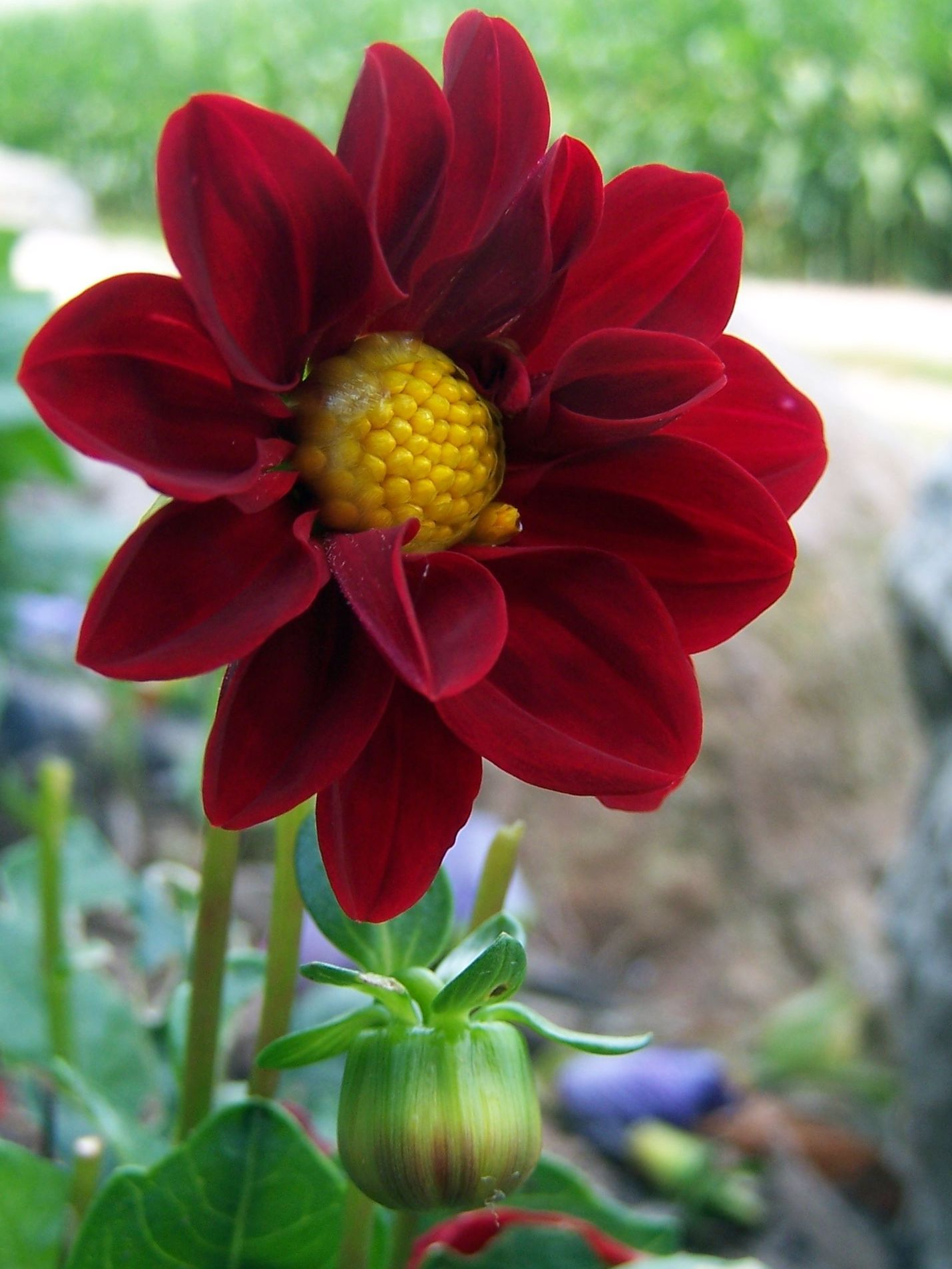 Deep Red Dahlia C Shutrbugz Studios Photography Flowers Flower Pictures Wedding