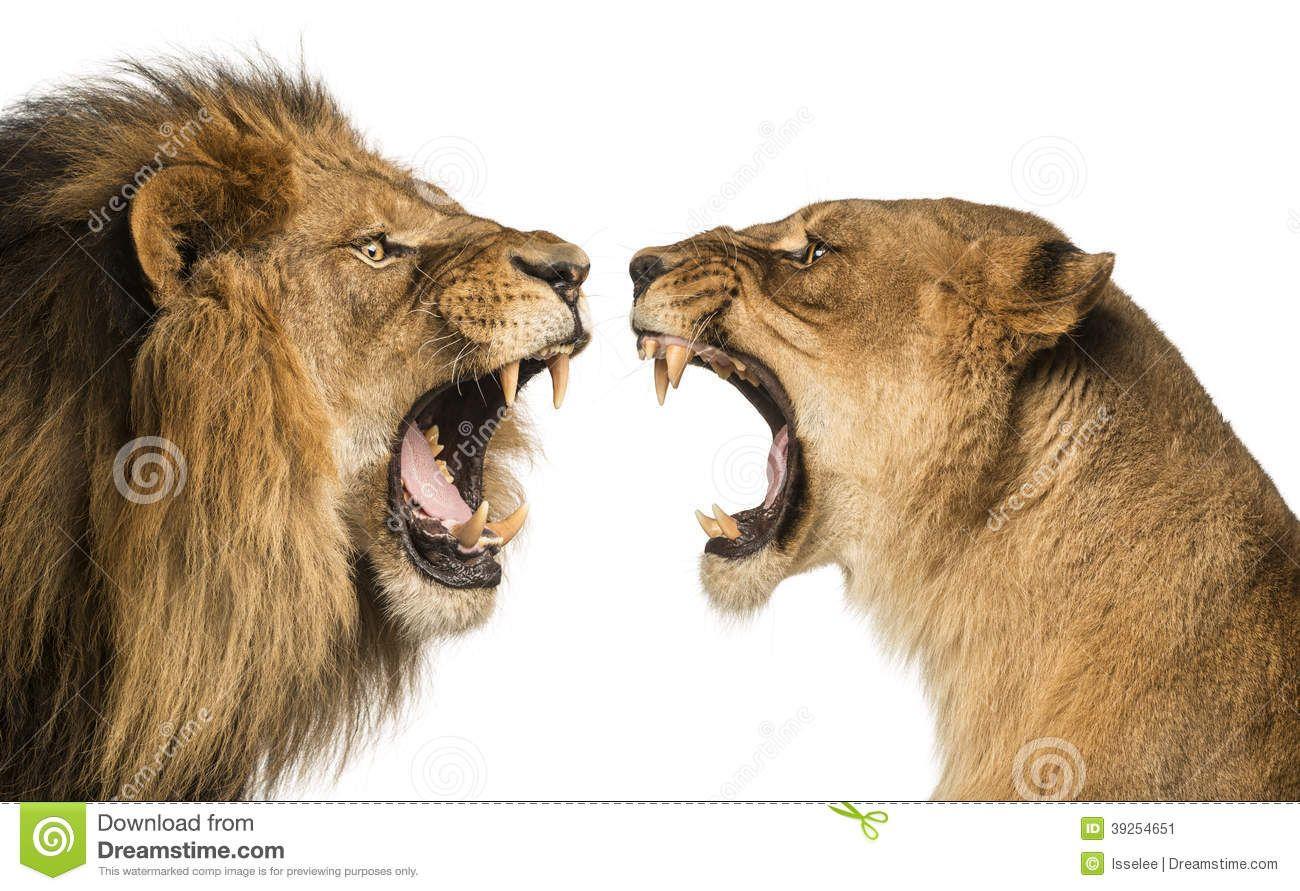 Bien connu plan-rapproché-d-un-lion-et-d-une-lionne-hurlant-39254651.jpg 1  UN84