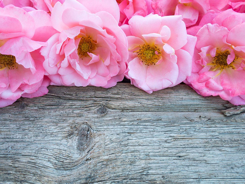 Photos Roses Pink Color Flowers Template Greeting Card Closeup