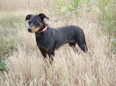 Hund Dobermannmischling Mischling Hundin 1 5 Jahre Mudersbach Rheinland Pfalz Haustier Ausgestopftes Tier Tierheim