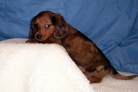 Red Long Haired Dapple Dachshund For Erin Dachshund Puppy