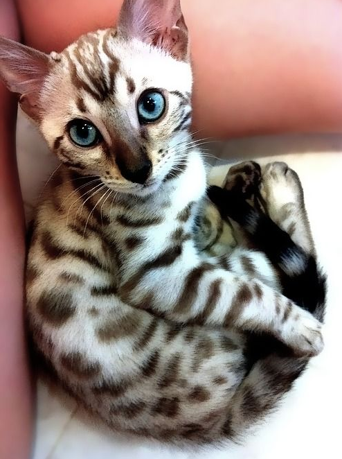 Egyptian mau- look at those markings!