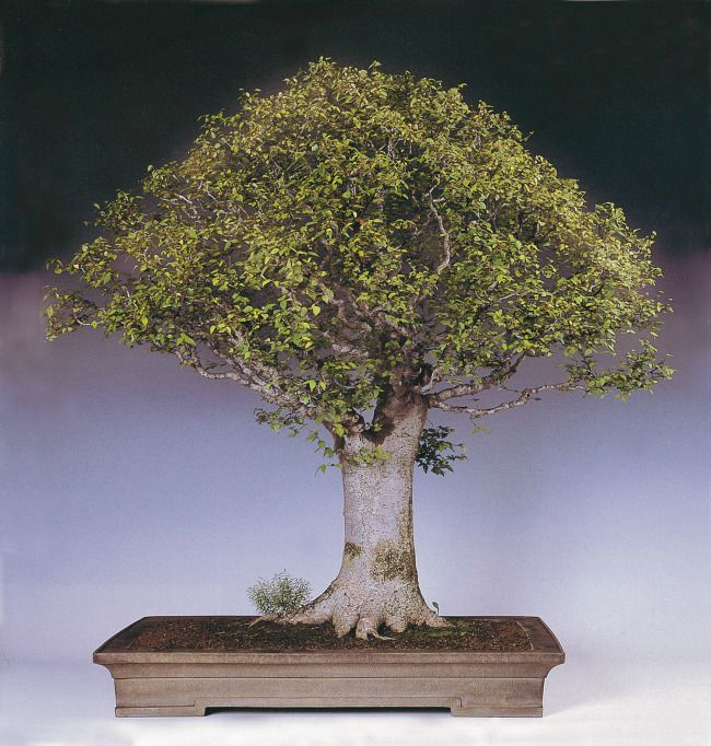 This Japanese zelkova bonsai is famous because of the unusual shape and the prior owner, Prime Minister Shigeru Yoshida. It was first dug and drastically pruned in 1937 and was displayed in the 1955 30th Kokufu Bonsai Exhibition as well as the 1968 42nd Kokufu Bonsai Exhibition