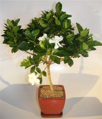 Flowering Gardenia Bonsai Tree (jasminoides Miami Supreme)   Oxemize.com
