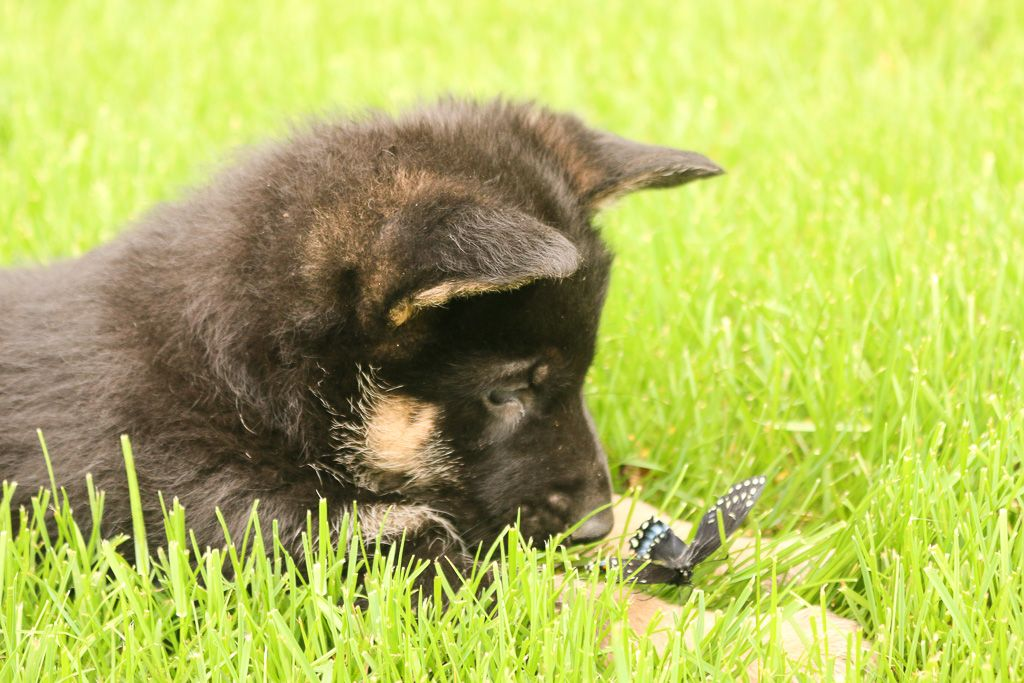The Germanshepherd Is A Loyal Companion They Are Calm Enough To Be Friends With Butterflies Ar German Shepherd Puppies Puppies Lancaster Puppies