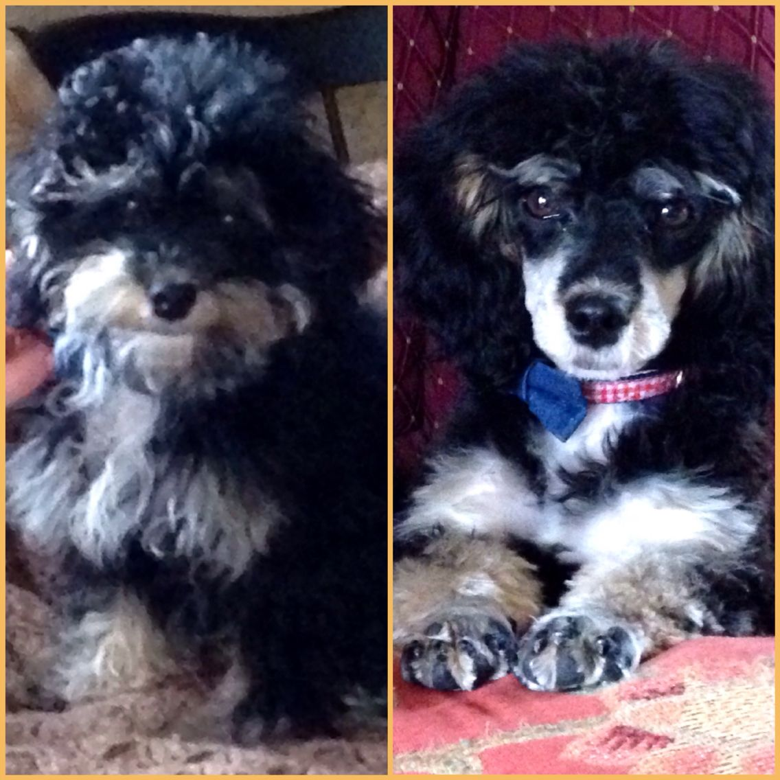 Before And After Haircut Cavapoochon Cavapoochon Poodle Poodle Mix