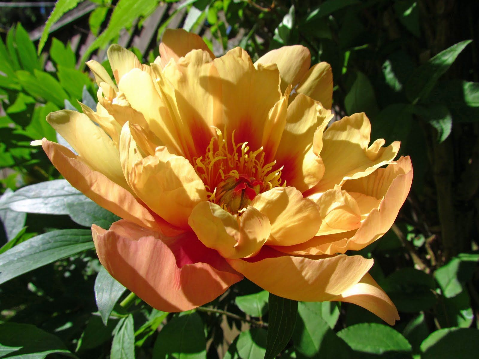 Misaka Beautiful Blossom Itoh Peony Google Search Itoh Peonies