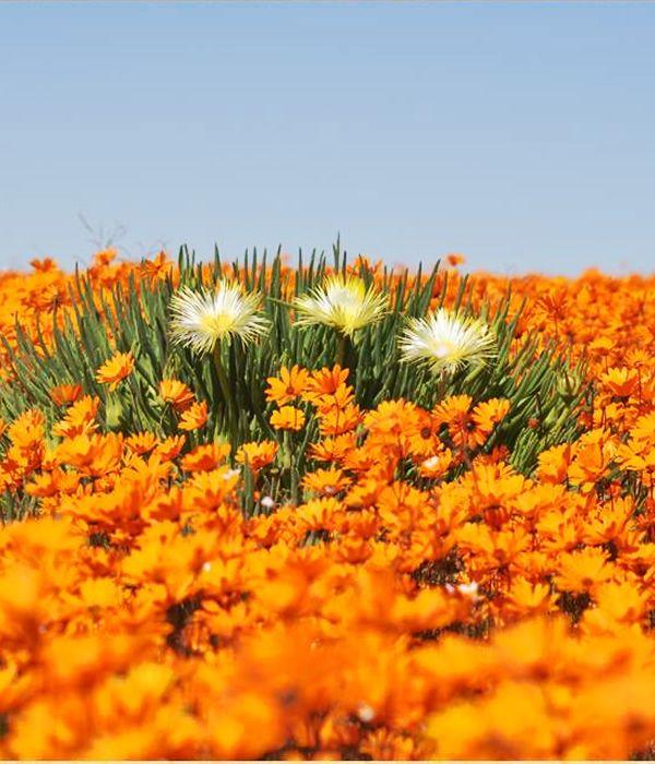 """世界三大ワイルドフラワーの聖地 南アフリカ ナマクワランド(Namaqualand - best known for """"spring flower miracle"""" in South Africa)"""